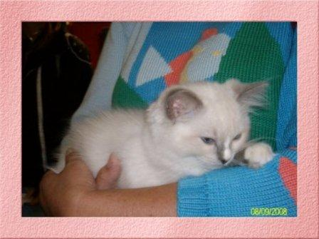 Deedge, chaton ragdoll bleu mitted