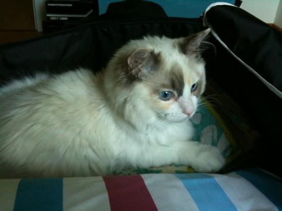 Engelle, bleu-crème bicolore