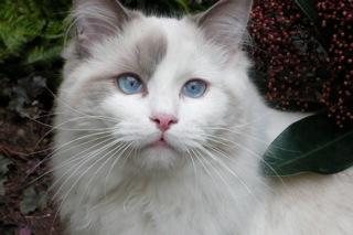 Sacha, Mâle Bleu bicolore, 9 mois