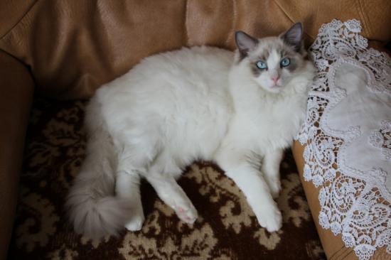 GLYCINE, 8 MOIS, ragdoll bleu bicolore